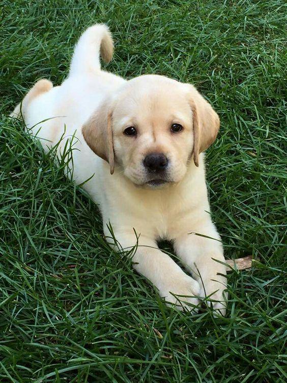 If You Love Labradors Visit Our Blog Labrador Labradorretriever Labradorcentral Credits Unkno Labrador Retriever Puppies Yellow Lab Puppies Lab Puppies