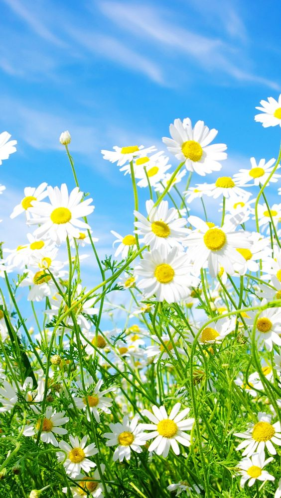Daisies Flowers iPhone 5s Wallpaper Download iPhone