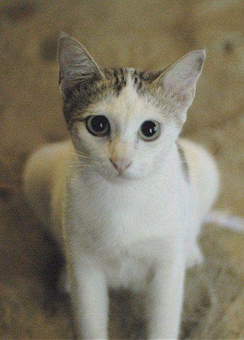 Words & Images Tan Wah Jiam - #smallcat- See more stunning Singapura Cat Breeds at Catsincare.com!