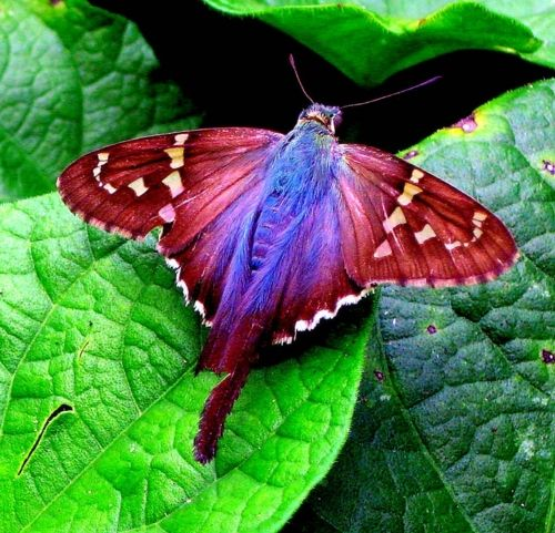 赤と青の蝶