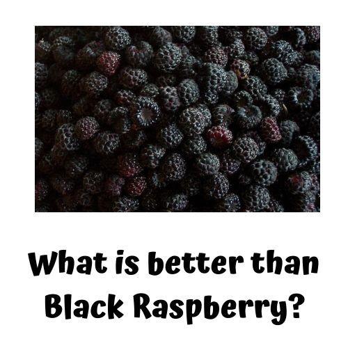 Black Raspberry Vs Blackberry In 2020 Black Raspberry Raspberry Blackberry