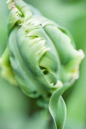 Sweet Crockie 2. Green Parrot Tulip. Keukenhof Garden. Amsterdam - stock photo