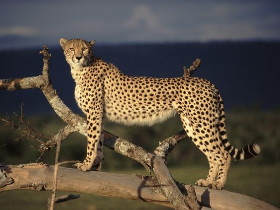 Spotted inspiration made possible by the cheetah.