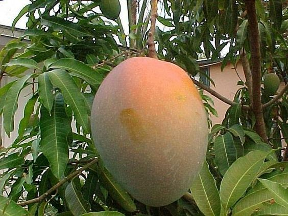 How to Prune a Mango Tree