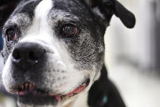 St Louis Mo Boxer Meet Marlie A Dog For Adoption With