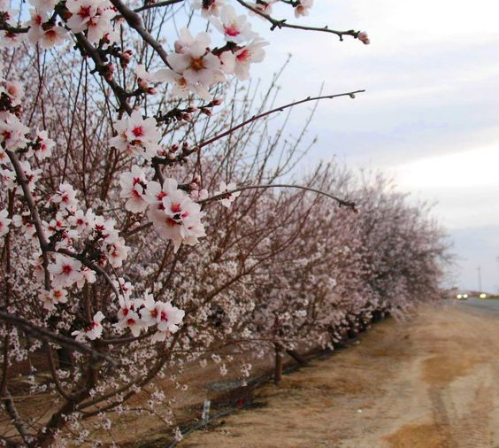 Cherry trees in bloom in the Central Valley