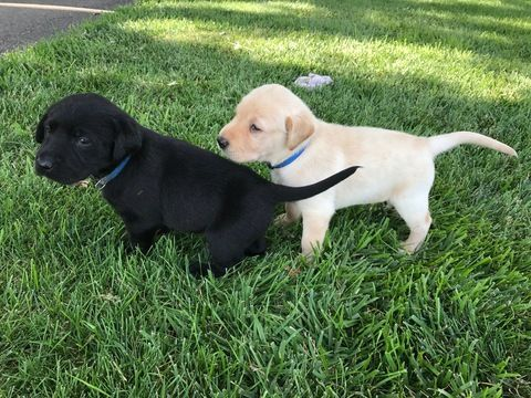 Litter Of 9 Labrador Retriever Puppies For Sale In Silver Lake In