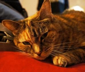 Maddy is an adoptable Domestic Short Hair Cat in Wakefield, MA. I am happy girl, a low-maintenance, short-haired, declawed feline whose loving owner has died. I am sad, but ready for a new family. I...