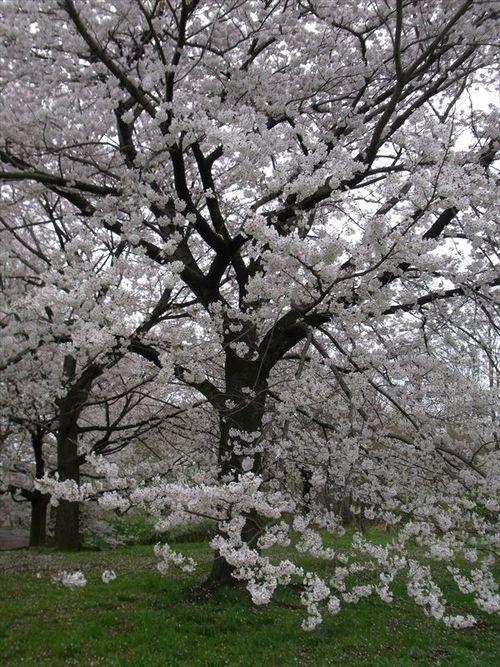 #Japan #sakura 3/31/2013