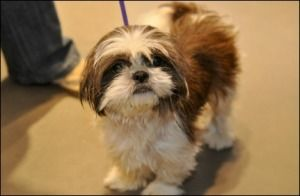Cheesedoodle is an adoptable Shih Tzu Dog in New York, NY.  Age: 1.5 years Sex: Male Breed : Shih Tzu...