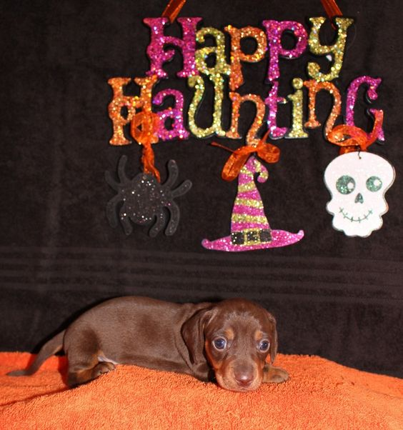 Mini Dachshund Puppies Beautiful Mini Dachshund Puppies For Sale