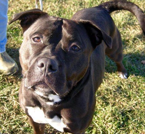 Photo Of Sweetie Rottweiler Training Pitbull Terrier Cute Pitbulls