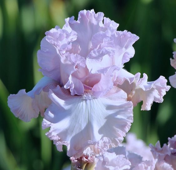 Orquideas, Iris Germanica, Iris Sorprendentes, Hermosas Iris, Hermosas Flores, Flores, Germanica Poem, Decor10, Heavenly Iris