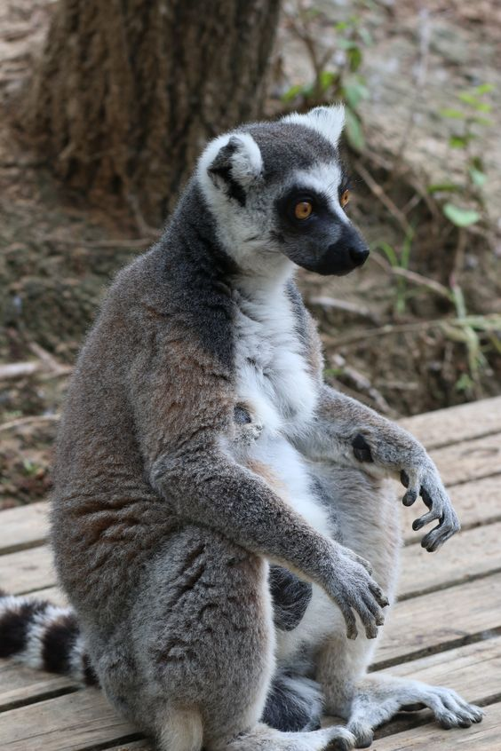 Did you know a group of lemurs are called a conspiracy? Come visit our ring-tailed lemurs in their new home by the Nganda Village.