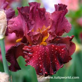 Lady in Red Dwarf Bearded Iris