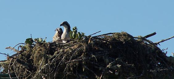 An osprey nest with chicks west of Grants Pass, Oregon.