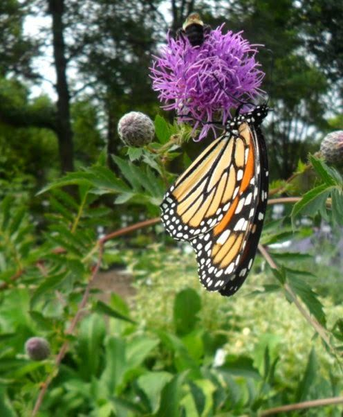 monarch on knapweed