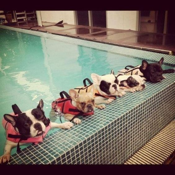 frenchie swimming lesson