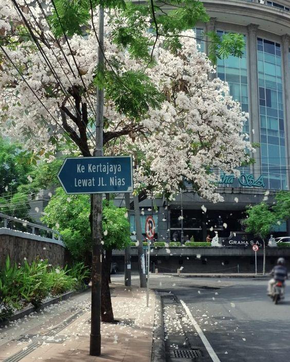 Cantiknya Bunga Sakura Bermekaran di Surabaya Viral di Media Sosial