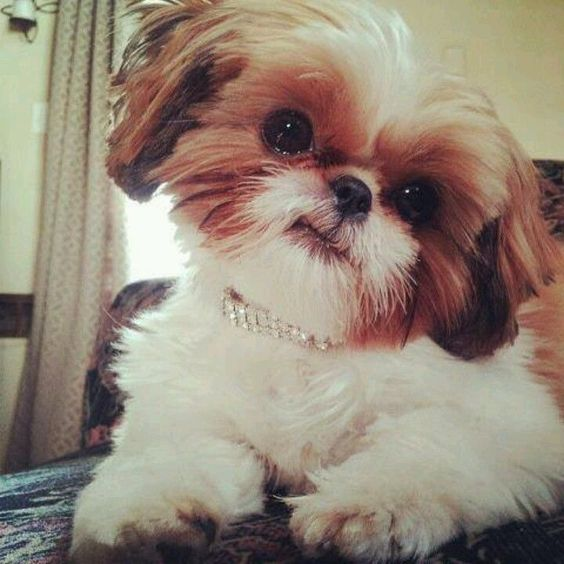 Adorable Shih Tzu Dog - Look at that Head-Tilt More #ShihTzu