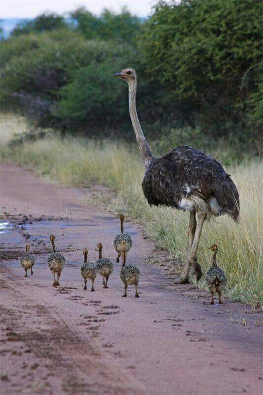 Ostriches, The babys and Africa on Pinterest