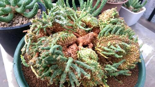Euphorbia gorgonis fma. cristata