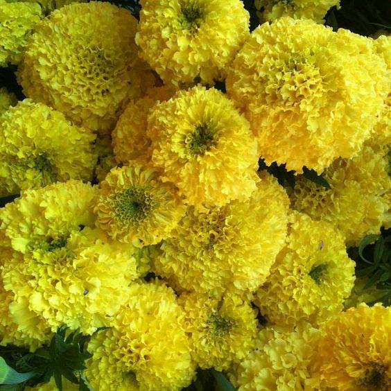 New cut flower marigolds,Photo by lynnvalestudios, www.LynnVale.com