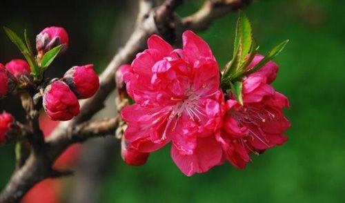 Flores de pêssego no Jardim Botânico de Beijing - China
