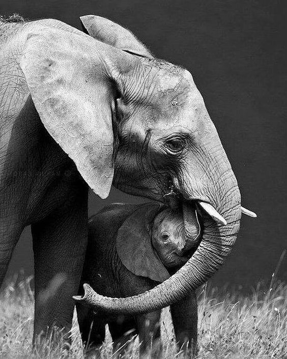 .From :@beautifulelephants - Mama and Baby Ella Love! . . . Save the Elephants! For info about promoting your elephant art or crafts send me a direct message @elephant.gifts or emailelephantgifts@outlook.com . Follow @elephant.gifts for inspiring elephant images and videos every day! . . #elephant #elephants #elephantlove