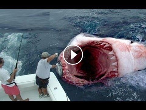 Curiosidade Maior tubarão do mundo - Vendo Videos da Web Click para assistir o video e escreva um comentário http://goo.gl/Spej6D