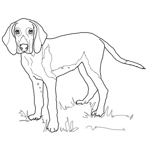 American Foxhound Coloring Page The Fox And The Hound American Foxhound Dog Coloring Page