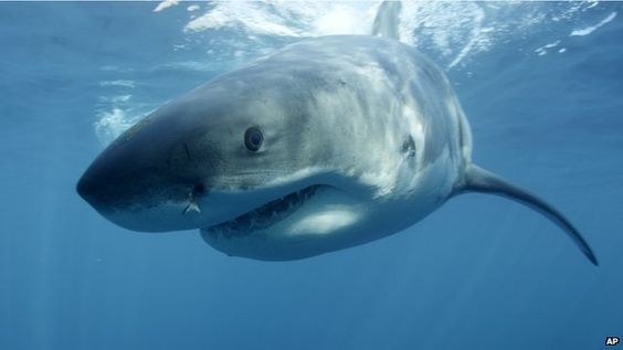 Tagged Great White Shark may be pregnant!