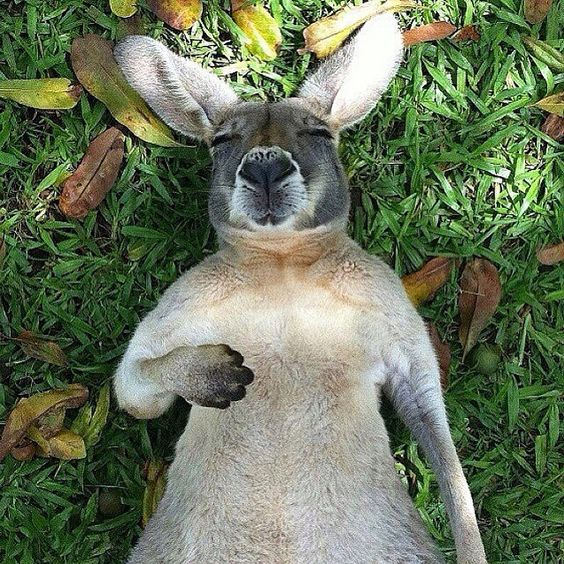 Follow @lifeonourplanet for amazing photos.Via @lifeonourplanet  Sleeping kangaroo  Photo by ©Michael Bynes #Wonderful_EarthLife