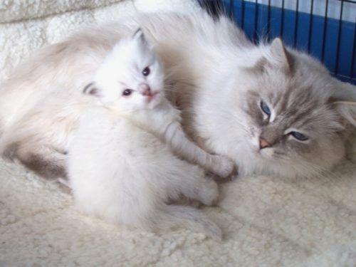 Martini Konrad Ragdoll Of The Week Cat Lovers Cats And Kittens Cats