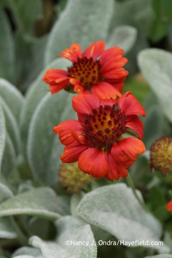 Gaillardia 'Gallo Bright Red' and Stachys byzantina; Nancy J. Ondra at Hayefield