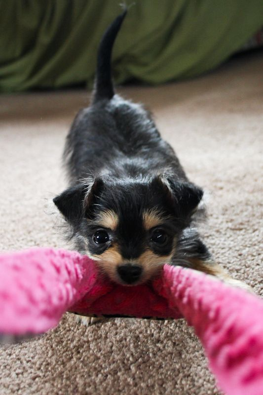 chihuahua jack russell jack chi puppy hybrid mix breed mutt pictures 7