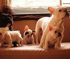French bulldog family....too cute