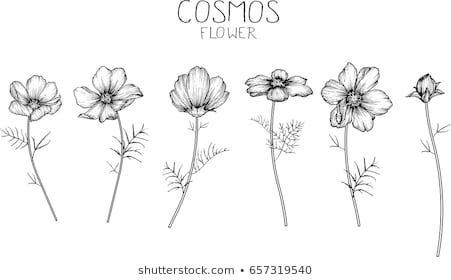 R Wilairat S Portfolio On Shutterstock Cosmos Tattoo Flower Drawing Cosmos Flowers