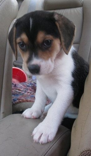 Husky Beagle Mix this is such a cute mix