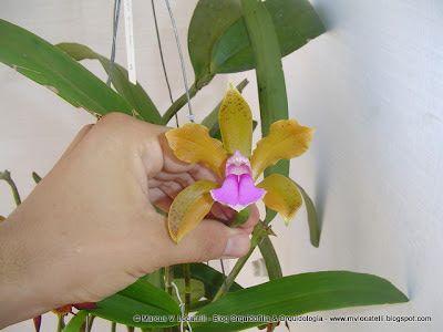 Orquishop: Cattleya bicolor subsp. minasgaerensis tipo (amarelada)