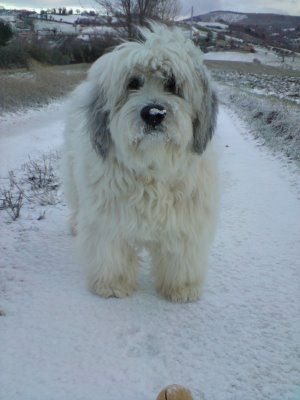 Polish Lowland Sheepdog photo | ... and other musings.....: Polish Lowland Sheepdog after an ice storm