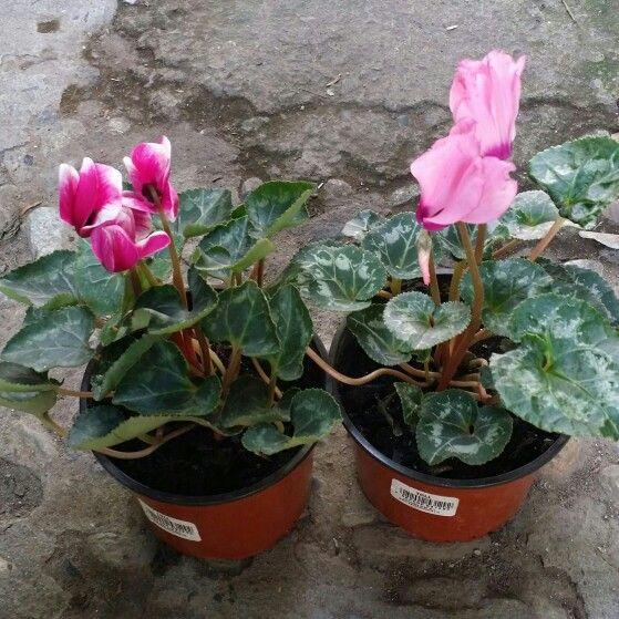 Ciclamen cyclamen persicum el ciclamen es una planta for Arboles que no se le caen las hojas en invierno