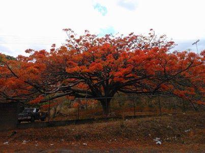 El árbol de fuego illawarra, (Illawarra Flame Tree) Brachychiton acerifolium, es una especie botánica de árbol grande nativo de regiones subtropicales de la costa este de Australia. Es famoso por sus brillantes flores rojas acampanadas, que con frecuencia cubren todo el árbol cuando aún está sin hojas.  Aquí en Venezuela se llama Árbol de Josefino. Fb: Semana del Arbol