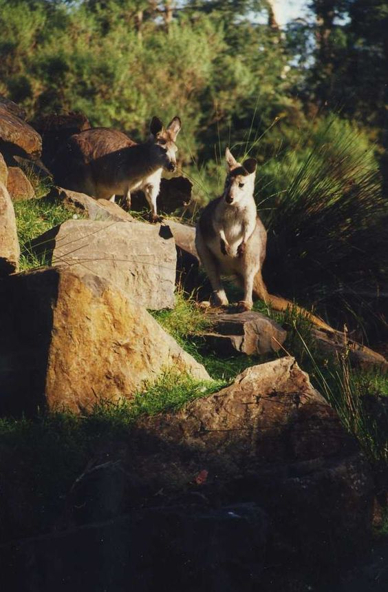 Monday, 25 November 2013; Healesville Sanctuary, Australia; May 1996