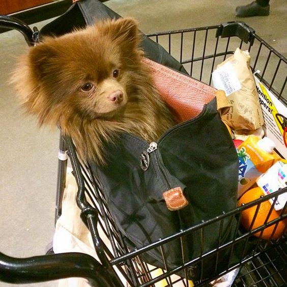 Bertie the Pomeranian