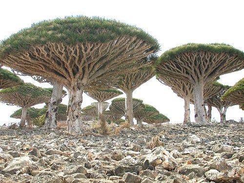 Dragon's Blood Tree, Socotra Island, Yemen