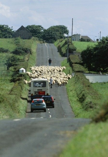 An Irish traffic jam. Click for a great article about avoiding the avoiding the PITS (Post Ireland Travel Syndrome).