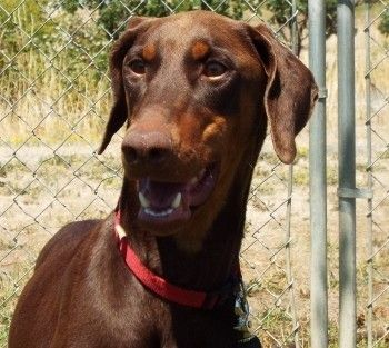 Check out Taffy's profile on AllPaws.com and help her get adopted! Taffy is an adorable Dog that needs a new home. https://www.allpaws.com/adopt-a-dog/doberman-pinscher/4988887?social_ref=pinterest