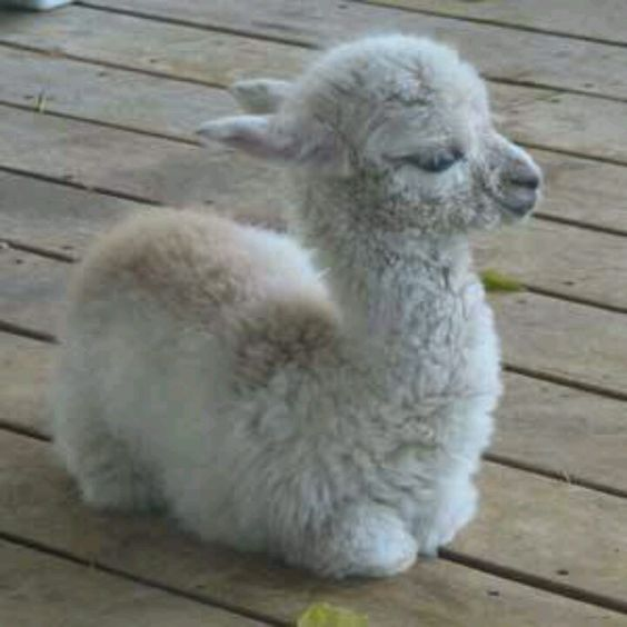 Baby Alpaca!! I want one and for it to stay a baby foreverrrrr! It's so cute!!