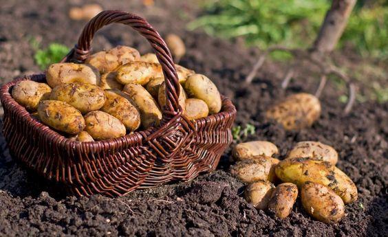 Erntefrische Kartoffeln sollte man eine Weile abtrocknen lassen, bevor man sie einlagert